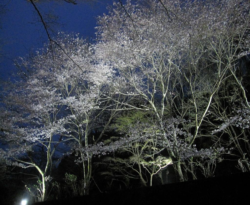 ライトアップ桜1(編集)