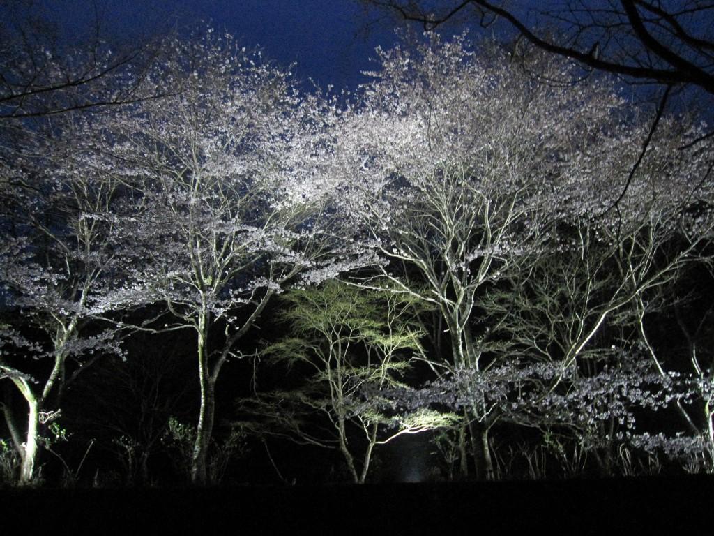 ライトアップ桜2(編集)